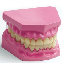 Kids Dental Model