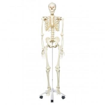 Model Of Human Skeleton (H:165cm)
