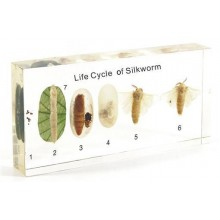 Specimen Of Silkworm Development